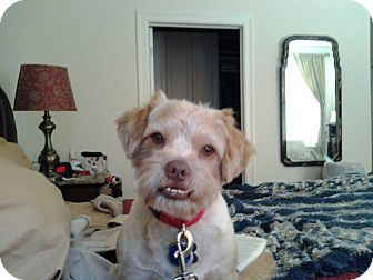 Border Terrier Mix Dog for adoption in Allentown, Pennsylvania - Wynden - Meet Him!!