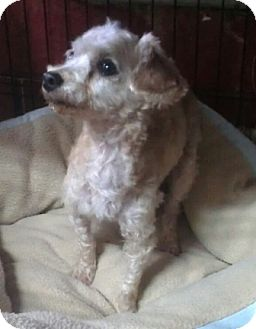 Poodle (Toy or Tea Cup) Dog for adoption in Huntingburg, Indiana - Sugar