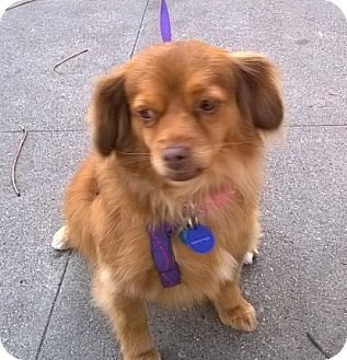 Cavalier King Charles Spaniel/Terrier (Unknown Type, Small) Mix Dog for adoption in Van Nuys, California - *URGENT* Cinnamon