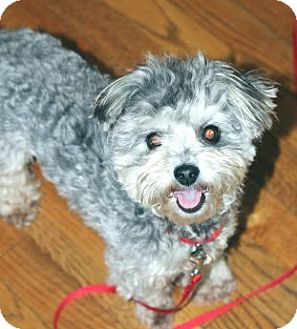 Yorkie, Yorkshire Terrier/Poodle (Miniature) Mix Dog for adoption in Atlanta, Georgia - Scamp