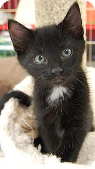 Hemingway/Polydactyl Kitten for adoption in Hillside, Illinois - Mittens-9 WEEKS & POLYDACTYL