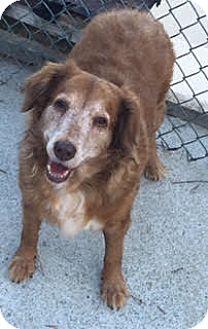 Golden Retriever Dog for adoption in Portland, Maine - Lainey