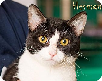 Domestic Shorthair Cat for adoption in Somerset, Pennsylvania - Herman
