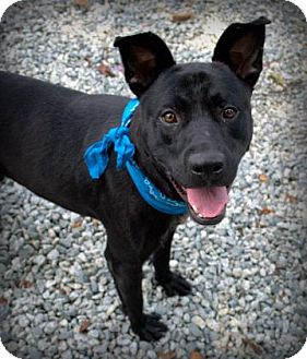 Shepherd (Unknown Type)/Pit Bull Terrier Mix Dog for adoption in Greensboro, North Carolina - Mellow