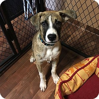 Hound (Unknown Type) Mix Dog for adoption in Zephyrhills, Florida - Bailey