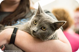 British Shorthair Kitten for adoption in Fort Wayne, Indiana - Zara