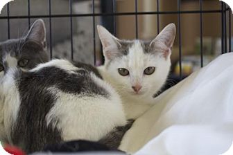 Domestic Shorthair Kitten for adoption in Ellicott City, Maryland - .Elora