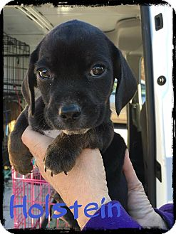Beagle Mix Puppy for adoption in WESTMINSTER, Maryland - Holstein