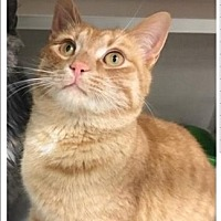 Domestic Shorthair Kitten for adoption in Temple, Pennsylvania - kringle n karen