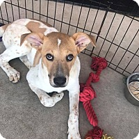 Adopt A Pet :: Jaeger - ST LOUIS, MO