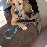 Labrador Retriever/German Shepherd Dog Mix Puppy for adoption in Surrey, British Columbia - Jilly