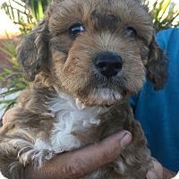 Adopt A Pet :: Miss Cecillia Bartoli, cuddles - Corona, CA