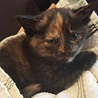 Calico Kitten for adoption in Toms River, New Jersey - Anna