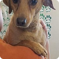 Dachshund/Chihuahua Mix Dog for adoption in Visalia, California - Hope