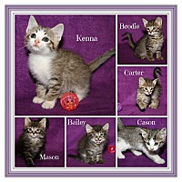 Adopt A Pet :: Kitten Kaboodle - Marietta, OH