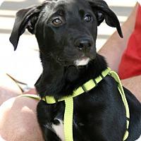 Adopt A Pet :: Boomer - Dallas, TX