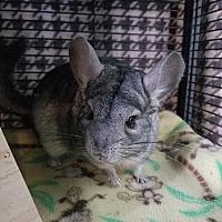Adopt A Pet :: Chibi - Lindenhurst, NY