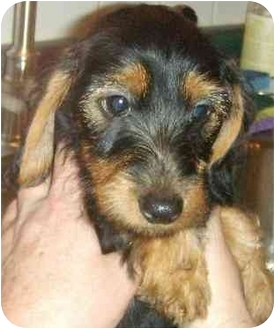 Dachshund Puppy for adoption in House Springs, Missouri - Mallory