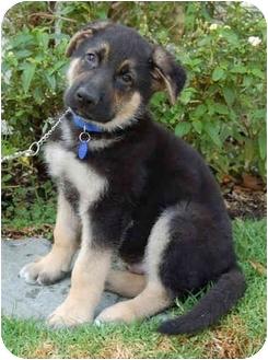 German Shepherd Dog Mix Puppy for adoption in Los Angeles, California - Graham von Wiesbaden