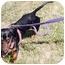 Photo 3 - Dachshund Dog for adoption in Grass Valley, California - Fritz
