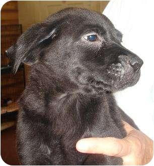 Labrador Retriever Mix Puppy for adoption in Old Bridge, New Jersey - Lelia