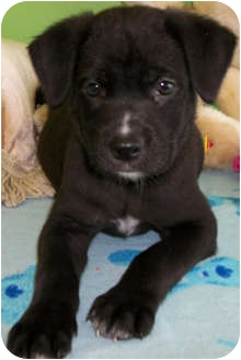 Labrador Retriever/Husky Mix Puppy for adoption in Struthers, Ohio - Pepe