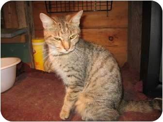 Domestic Shorthair Cat for adoption in Portland, Maine - Trina