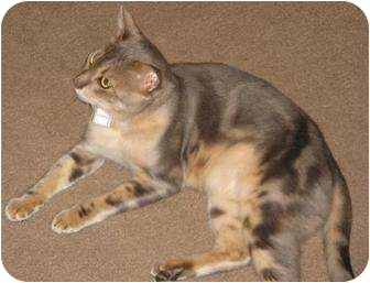 Bengal Cat for adoption in Davis, California - Brigsby