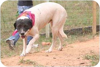 American Bulldog Mix Dog for adoption in Hayden, Alabama - Puppy