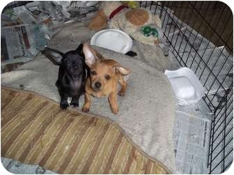 Dachshund/Chihuahua Mix Puppy for adoption in Adamsville, Tennessee - Clay