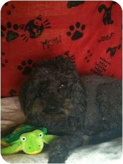 Poodle (Miniature) Dog for adoption in Hammond, Louisiana - Hercules