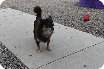 Chihuahua Mix Dog for adoption in Hibbing, Minnesota - Betsy
