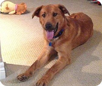 Golden Retriever Mix Dog for adoption in Hamilton, Ontario - Sparkey