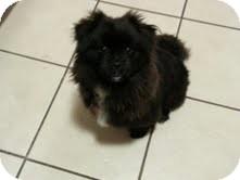 Pomeranian Mix Dog for adoption in Okotoks, Alberta - Romeo