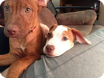American Bulldog/Labrador Retriever Mix Puppy for adoption in Marlton, New Jersey - Patches
