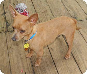 Chihuahua Mix Dog for adoption in Umatilla, Florida - Sir Charles