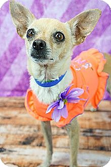 Chihuahua/Terrier (Unknown Type, Small) Mix Dog for adoption in Phoenix, Arizona - Uma