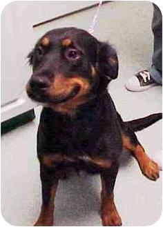 Gordon Setter/Rottweiler Mix Dog for adoption in Scottsdale, Arizona - Mandy