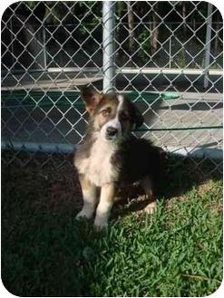 Border Collie/Corgi Mix Puppy for adoption in Hammonton, New Jersey - Fred