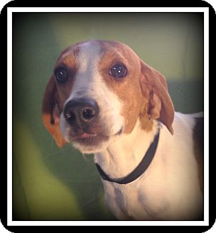 Beagle Dog for adoption in Indian Trail, North Carolina - Dixie
