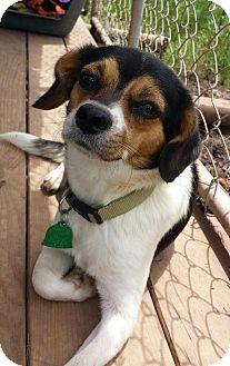 Pomeranian/Beagle Mix Dog for adoption in Natchitoches, Louisiana - Rudy