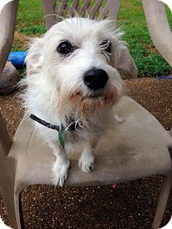 Jack Russell Terrier Mix Dog for adoption in Olive Branch, Mississippi - Tami