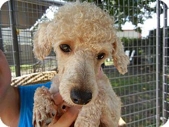 Poodle (Miniature) Mix Dog for adoption in Houston, Texas - Violet