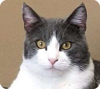 Domestic Shorthair Cat for adoption in Irvine, California - Kacy