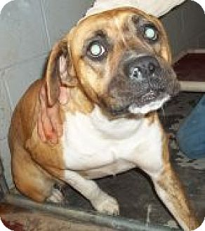 Boxer Mix Dog for adoption in Silver City, New Mexico - Asia