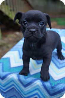 Pug/Chihuahua Mix Puppy for adoption in Newark, Delaware - Jersey