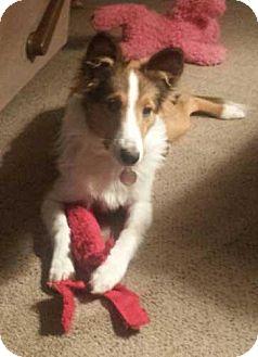 Sheltie, Shetland Sheepdog Puppy for adoption in Abingdon, Maryland - Fergus
