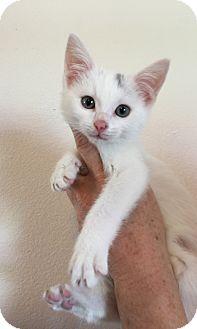Domestic Shorthair Kitten for adoption in Meridian, Idaho - Eskimo
