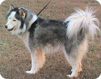 Husky Dog for adoption in Maynardville, Tennessee - Faith