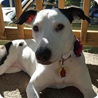 Adopt A Pet :: Cookie - Tampa, FL